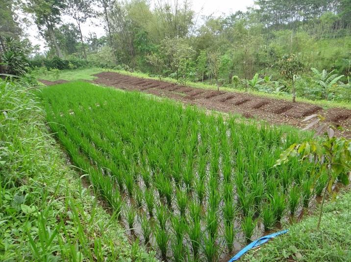 Lahan padi
