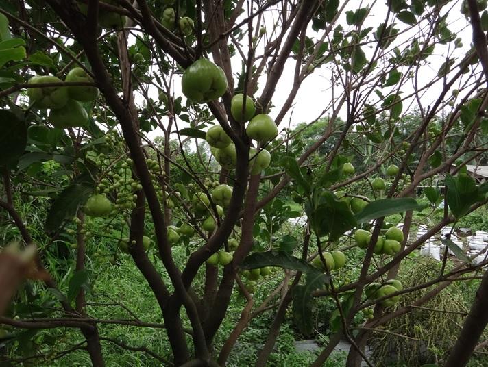 Pohon jambu air - putih
